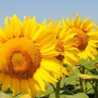 Продам гібрид соняшника Амато (SU 50г/га)