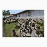 Продам романовских овец 330 голов