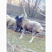 Продам овець гісарської породи