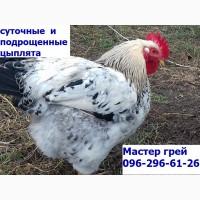 Суточные цыплята Мастер грей.сезон 2019