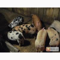 Свиньи продам своё хозяйство