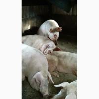 Продаю свиней живою вагою