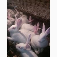 Продам кроликов термонской породы
