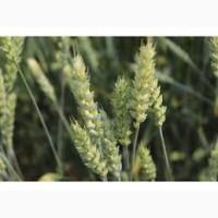 Семена озимой пшеницы БЕНЕФИС