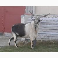 Продам на племя отличного альпийского козла