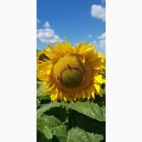 Насіння гібриду соняшнику Євро, стійкий до евролайтнінгу