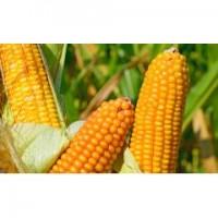 Кукурудза ВН 6763(ФАО 320) від виробника ВНІС(посівний матеріал)