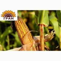 Посівний матеріал гібриду кукурудзи ГРАН 240 + безкоштовна доставка
