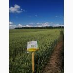 Семена пшеницы Краснодарской селекции