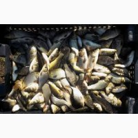 Продам рыбу малька :карп, карась, линь