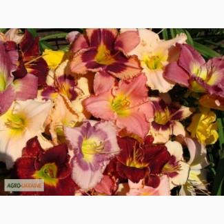 Лилейник садовый гибридный продам