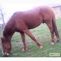 Продам коня, порода рысак