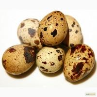 Продам перепелиные яйца