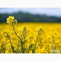 Пропоную високоякісні насіння СОРТ ОЗИМОГО РІПАКУ РЕКОРДІ (RECORDIE) - Saatbau Австрія