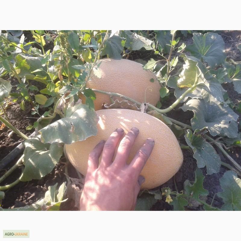 Дыня амал f1 выращивание 68