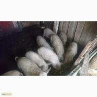 Продам поросят породы Пуховой мангалицы (Мангал)