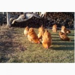 Инкубационное яйцо кур породы орпингтон, інкубаційні яйця орпінгтон