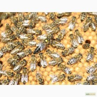 Продаём чистопородные плодные пчеломатки карпатских пчел с племенной пасеки В.А. Гайдара