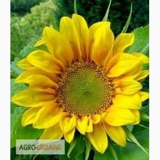Семена подсолнечника от 100 кг. Сорта и гибриды