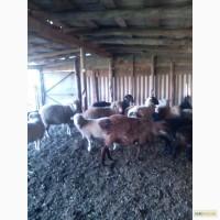 Продам овец гиссарской породы и мериносов