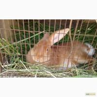 Бургундская крольчиха ( на племя)