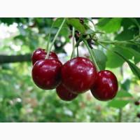 Саженцы вишни сорт Шалунья