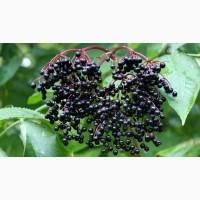 Продам бузину чёрную ягоды