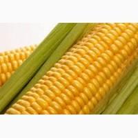 Покупаем кукурузу в Черниговской области. Форма оплаты любая