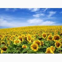 Продам високоврожайний соняшник під Євро-Лайтнінг та Гранстар знижка 5%