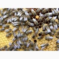 Продам бджоломатки Карпатської породи КІЛЬКІСТЬ ОБМЕЖЕНА