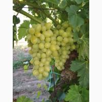 Продам виноград столовых сортов оптом с поля