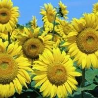 Продам гібрид соняшника Шенон (SU 50г/га)