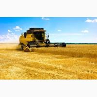 Закупаем пшеницу оптом.Есть самовывоз