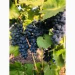 ОПТОМ и мелким оптом виноград МОЛДОВА 10грн с собственных виноградников