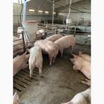 Продажа свиней, поросят, хряки