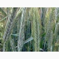 Семена ржи (жито) озимой Кобза