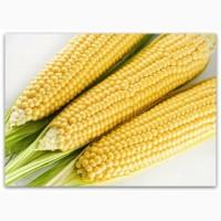 Насіння кукурудзи МОНБЛАН