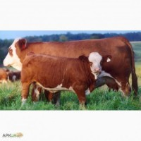 Куплю бычков весом 50 150 КГ