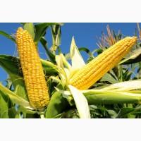 Насіння кукурудзи Вн 63 від виробника ВНІС (посівний матеріал)