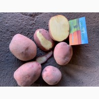 ПРОДАМ картошку продовольственную 5+, Сантэ, Журавушка, Королева Анна, Боиз, Галла ОПТ