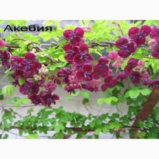 Акебия - шоколадная лиана