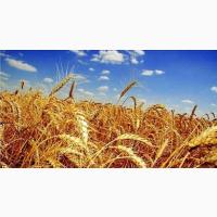 Закупаем оптом Кукурузу (ДСТУ 4525-2006)