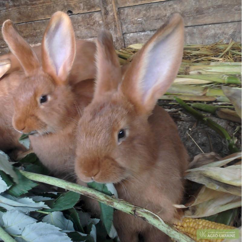 нзк кролик фото в кемеровской области довольно