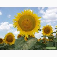 Насіння соняшнику та кукурудзи від виробника