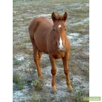 Продаються лошади