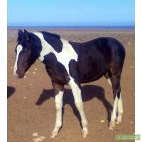 Пегие жеребчики разного возраста, обычные жеребята, взрослые лошадки.
