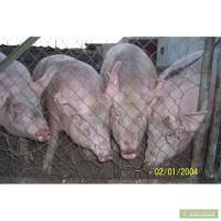 Продам мясных и откормочных породистых поросят