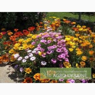 Продам цветы - газания, петуния, вербена, чорнобривцы,пеларгония...