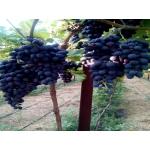 Столовый виноград оптом от производителя