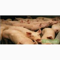 Свиньи живым весом породы Дюрок